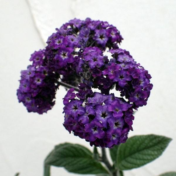 レビューを書けば送料当店負担 草花の苗 ヘリオトロープ 3.5号ポット 数量限定 紫花