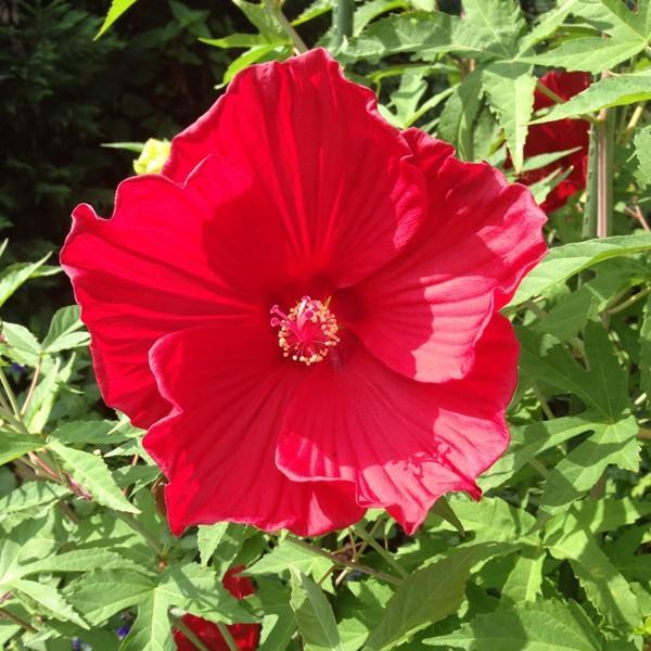 マーケティング 花木 販売期間 限定のお得なタイムセール 庭木の苗 宿根ハイビスカス:タイタンビカス:バルカン3.5号ポット