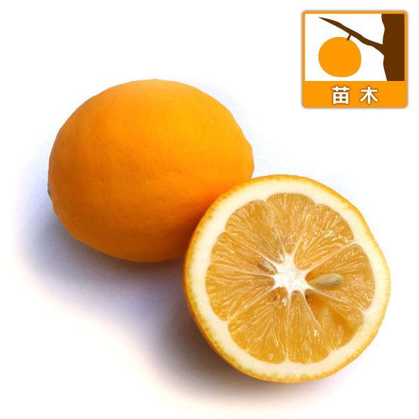 果樹の苗 レモン:マイヤーレモン 商品 売り込み 3〜3.5号ポット