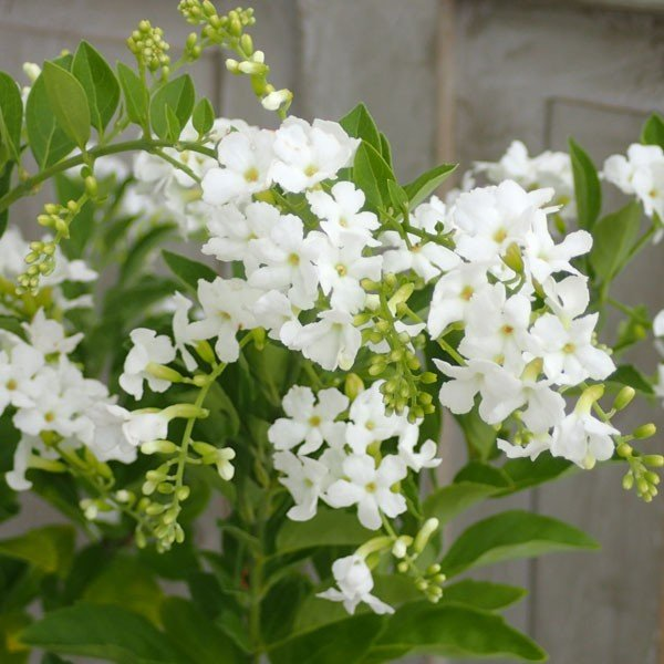 デュランタ:ホワイトラブ 白花 5号鉢植えスタンド仕立て お得クーポン発行中 サービス アルバ