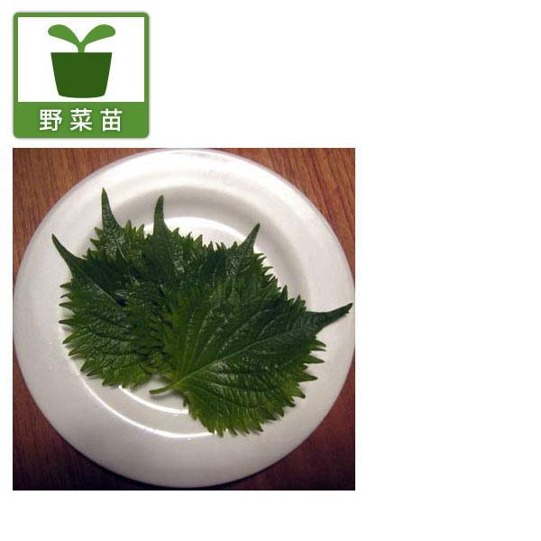 春の新作シューズ満載 野菜の苗 青しそ3〜3.5号 バースデー 記念日 ギフト 贈物 お勧め 通販 6ポットセット