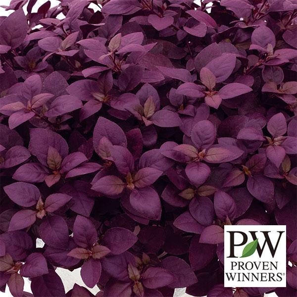 草花の苗 毎日がバーゲンセール 日本 アルテルナンテラ:リトルロマンス3号ポット