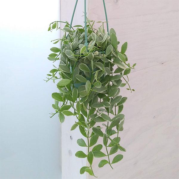 観葉植物 訳あり品送料無料 ディスキディア 輸入 エメラルド3.5号吊鉢