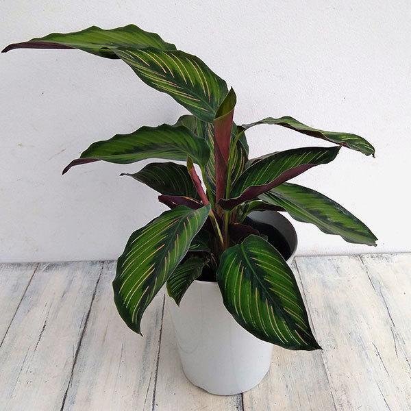 観葉植物 カラテア:ビューティースター 6号鉢 往復送料無料 バーゲンセール