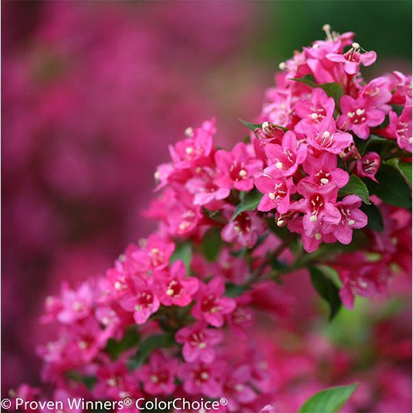 花木 庭木の苗 ワイゲラ:ソニックブルーム ピンク5号ポット 別倉庫からの配送 ご予約品