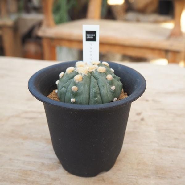 観葉植物/アストロフィツム:瑠璃兜 3号鉢植え 送料無料
