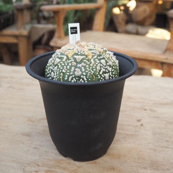観葉植物/送料無料 アストロフィツム:アステリアスV1(兜丸) 4号鉢植え