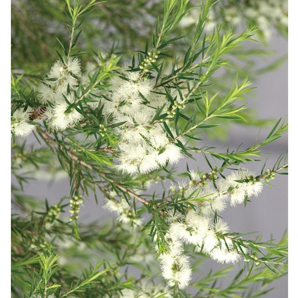 花木 庭木の苗 完売 贈物 メラレウカ メラウニカ :ブラックティーツリー3号ポット