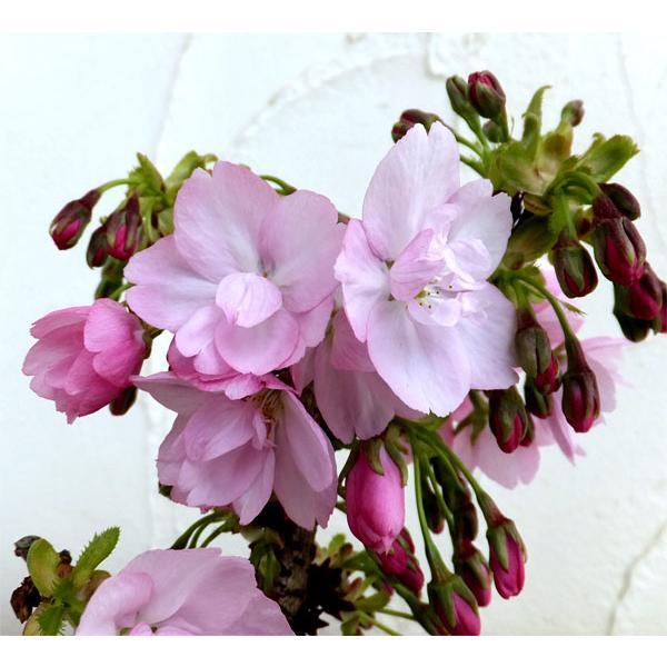 花木 レビューを書けば送料当店負担 庭木の苗 ミニ桜 品質検査済 サクラ :旭山 アサヒヤマ 5号ポット