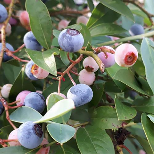 果樹の苗 ブルーベリー:ホームベル 新色 定番から日本未入荷 5号ポット