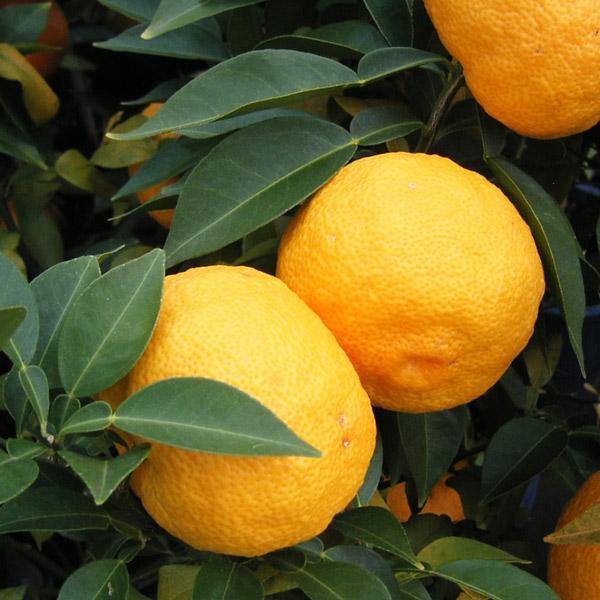 果樹の苗 超人気 ホンユズ 本柚子 人気 おすすめ 4〜5号ポット接木苗