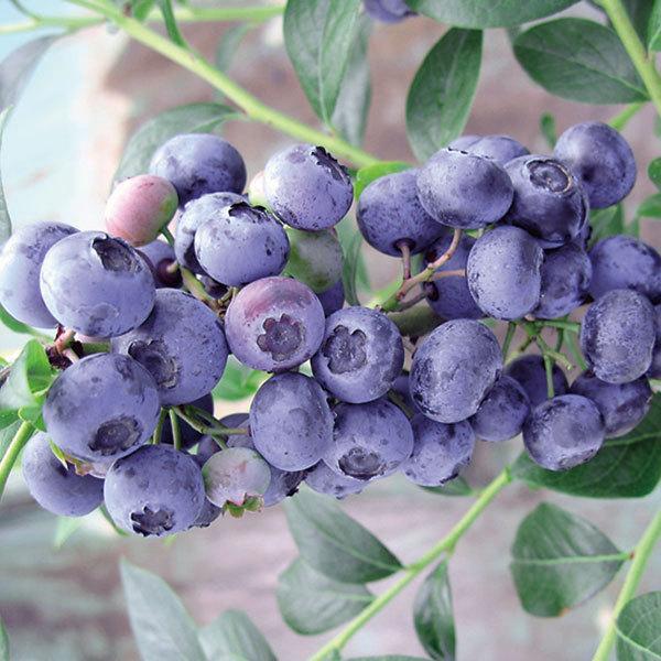 待望 果樹の苗 市場 ブルーベリー ハイブッシュ系 :ブルーレカ5号ポット