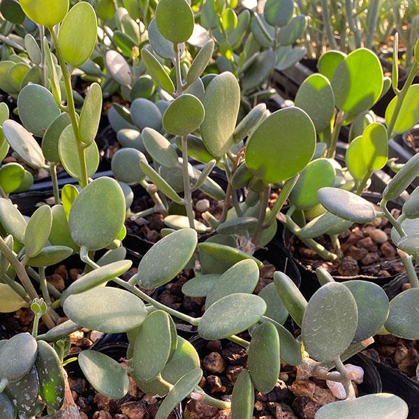 オリジナル 観葉植物 2020 グリーンドラム3号ポット