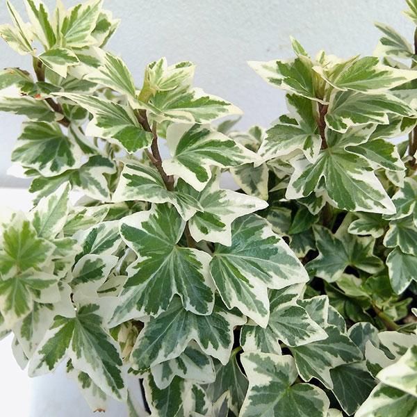 草花の苗 出色 高品質 ヘデラ アイビー :天使のささやき3.5号ポット