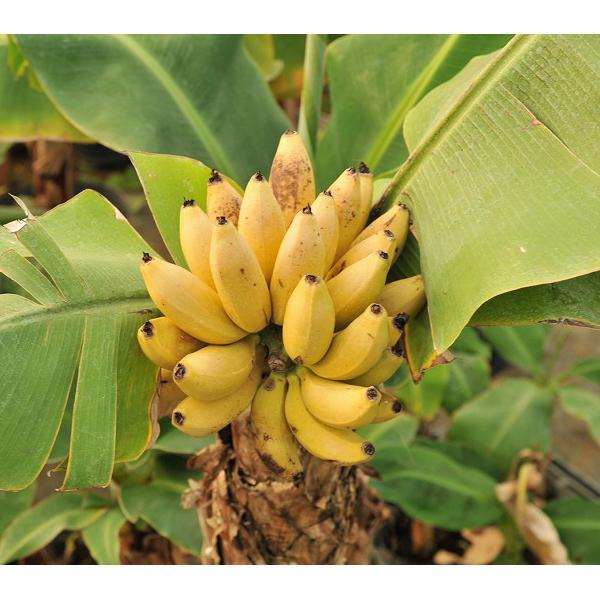 大特価!! 果樹の苗 ドワーフモンキーバナナ4.5号ポット 1年保証