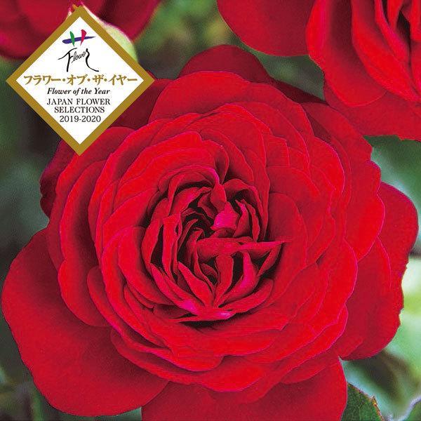 トゥルーブルーム:レッドキャプテン 最安値挑戦 全品最安値に挑戦 6号鉢植え