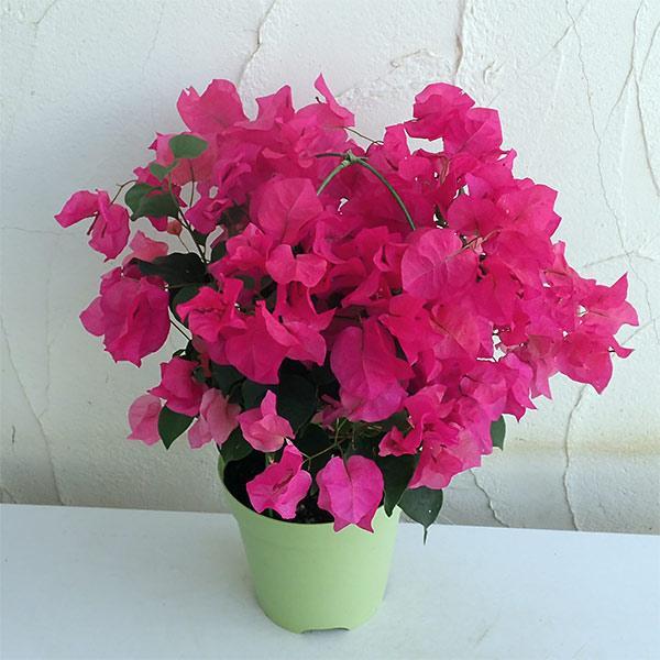 ブーゲンビリア赤花5号鉢植え 販売 売れ筋ランキング