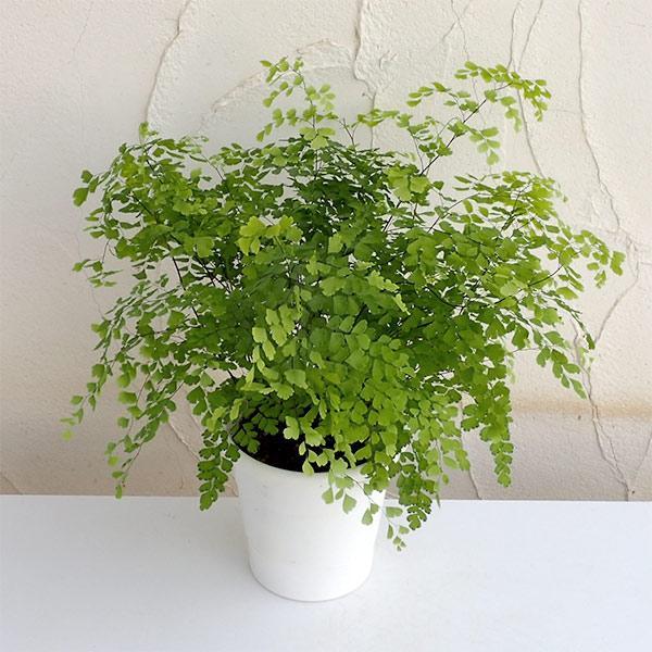 有名な 観葉植物 アジアンタム:フラグランス5号鉢植え オープニング 大放出セール