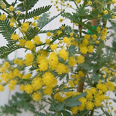 花木 庭木の苗 数量は多 爆安 アカシア:ギンヨウアカシア3〜3.5号ポット