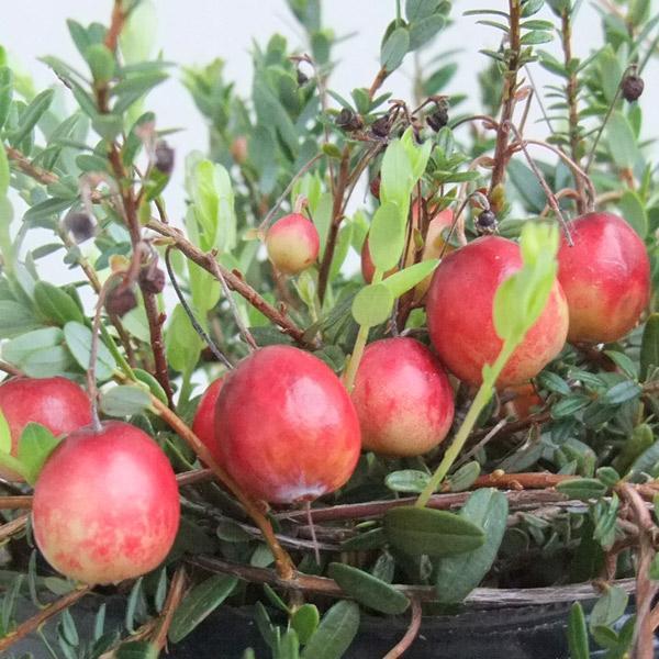 注目ブランド 果樹の苗 セール開催中最短即日発送 クランベリー ツルコケモモ 3〜3.5号ポット