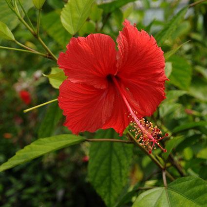豪華な 草花の苗 ハイビスカス:ブッソウゲ 授与 3号ポット アカバナー