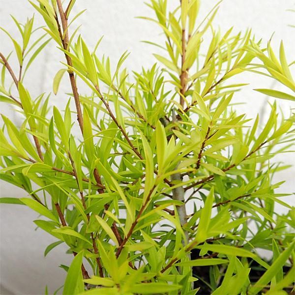 花木 庭木の苗 メラレウカ 別倉庫からの配送 日本製 メラウニカ :レボリューションゴールド3号ポット5株セット