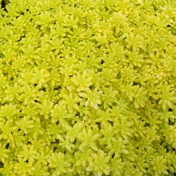 観葉植物 セダム:細葉オオゴンマンネングサ3号ポット2株セット 安値 ラッピング無料