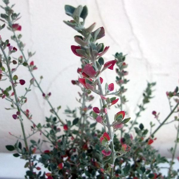 草花の苗 ホワイトソルトブッシュ 購入 ラゴディア 店舗 2.5〜3号ポット