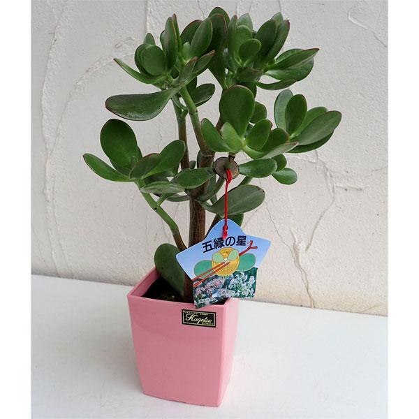 観葉植物 金のなる木:五縁の星 ゴエンノホシ お金を節約 4号鉢植え 開店記念セール