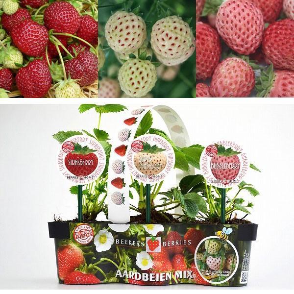 野菜の苗 21年10月中下旬予約 日本正規品 数量限定アウトレット最安価格 イチゴ:ベーカーズベリー3種セット