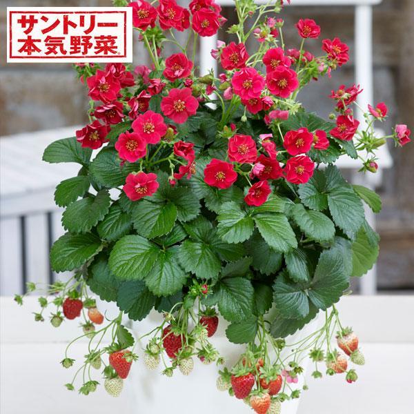 超安い 野菜の苗 日本最大級の品揃え 21年9月中下旬予約 イチゴ:ローズベリーレッド3号ポットR