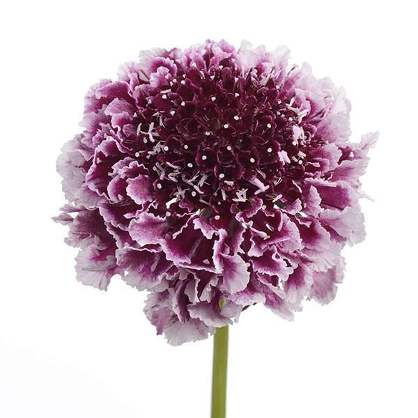 草花の苗 人気ブランド 21年8月下旬予約 スカビオサ:スクープ チェリーバニラ3.5号ポット 代引き不可