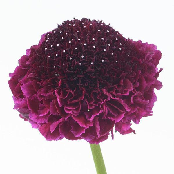 特価 草花の苗 21年8月下旬予約 スカビオサ:スクープ おトク レッドベルベット3.5号ポット