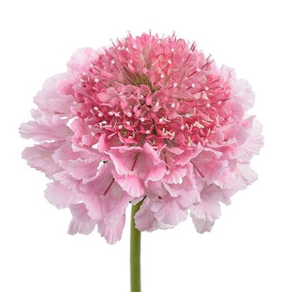 商い 草花の苗 21年8月下旬予約 スカビオサ:スクープ 本日の目玉 マシュマロ3.5号ポット