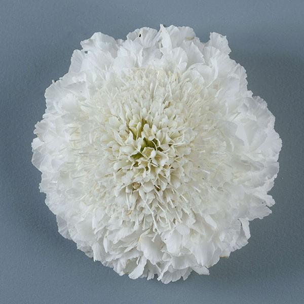 草花の苗 21年8月下旬予約 ホワイト3.5号ポット スカビオサ:フォーカルスクープ 品質検査済 プレゼント