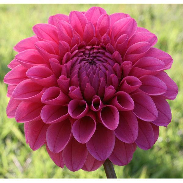 ファクトリーアウトレット 草花の苗 21年9月中下旬予約 爆買い新作 ダリア:ミッチャン4号ポット