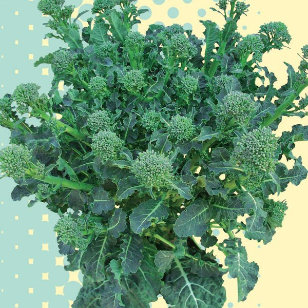 野菜の苗 新商品!新型 爆安プライス 21年8月下旬予約 2株セットy Neoすずなりブロッコリー3号ポット