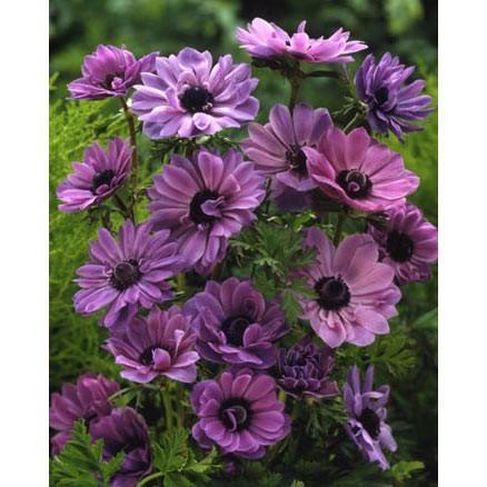 驚きの値段 球根 21年8月下旬予約 アネモネ:八重咲き 紫 40ml入り 即日出荷