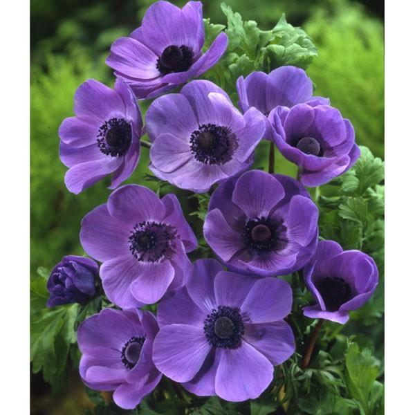 球根 21年8月下旬予約 新作 送料無料 新品 アネモネ:一重咲き 40ml入り 紫