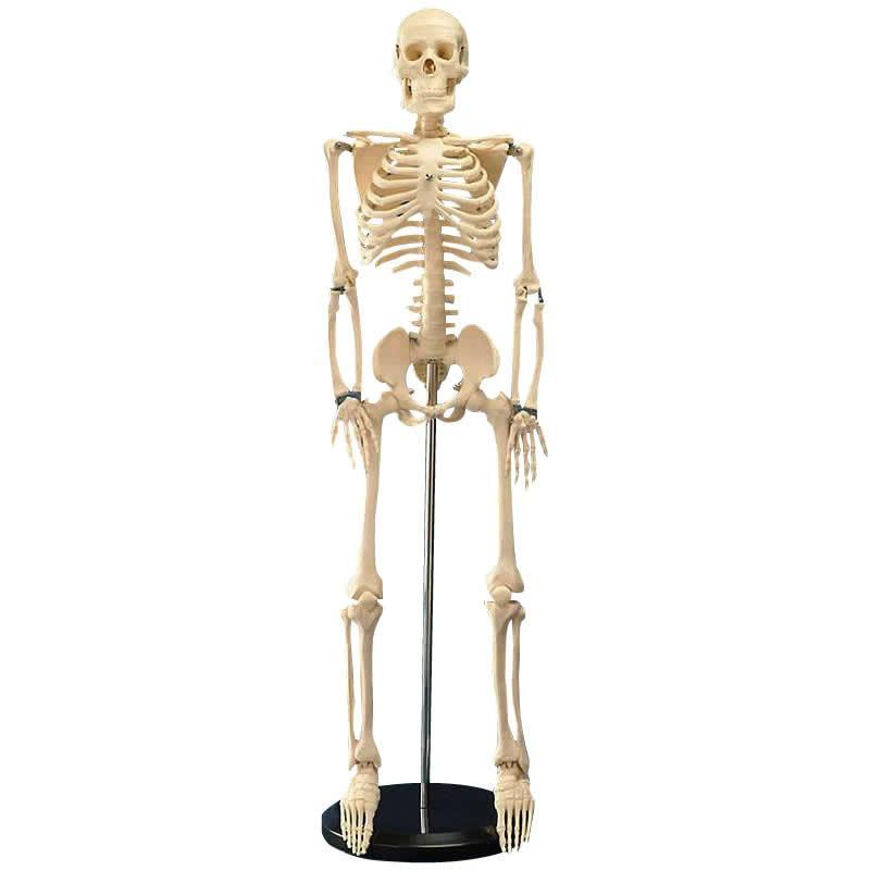 ※メーカー直送・同梱代引き不可 人体模型シリーズ 人体骨格模型85cm