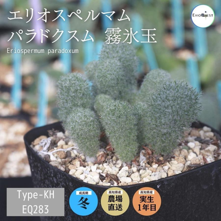 エリオスペルマム パラドクスム 霧氷玉 Eriospermum paradoxum Type-KH EQ283|erioquest