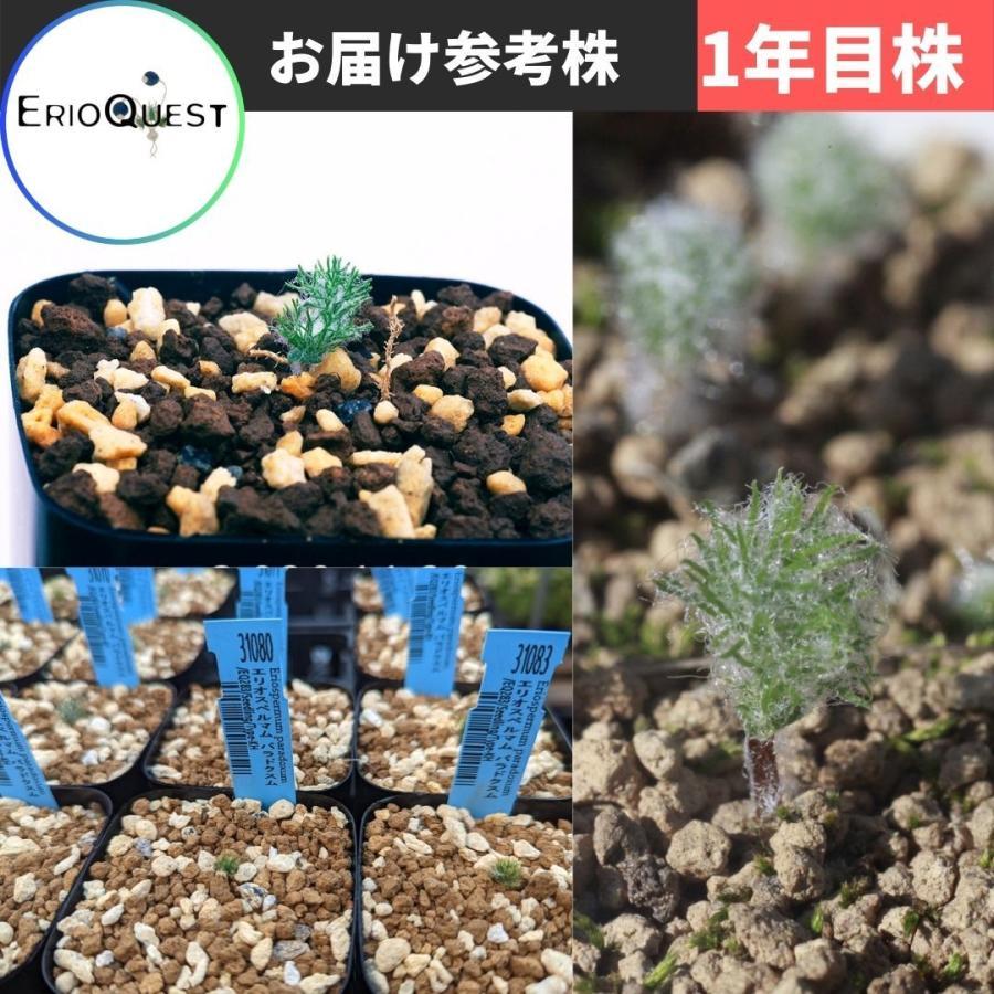 エリオスペルマム パラドクスム 霧氷玉 Eriospermum paradoxum Type-KH EQ283|erioquest|11