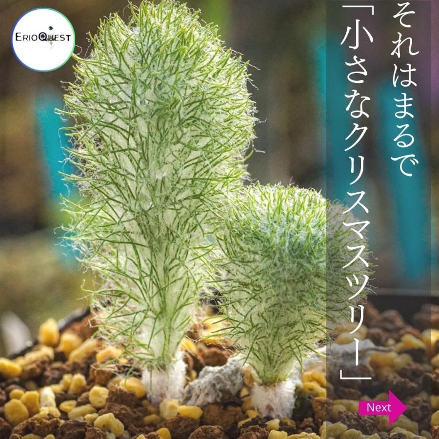 エリオスペルマム パラドクスム 霧氷玉 Eriospermum paradoxum Type-KH EQ283|erioquest|03