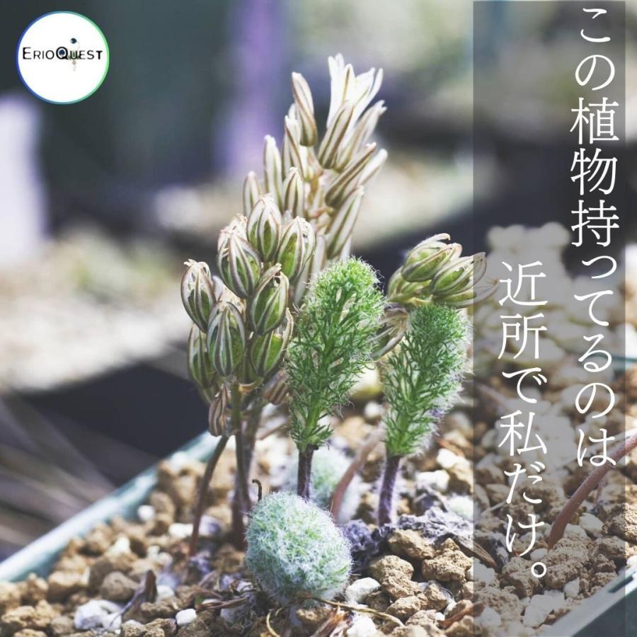 エリオスペルマム パラドクスム 霧氷玉 Eriospermum paradoxum Type-KH EQ283|erioquest|05
