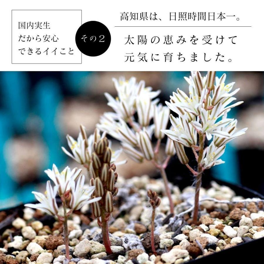 エリオスペルマム パラドクスム 霧氷玉 Eriospermum paradoxum Type-KH EQ283|erioquest|07