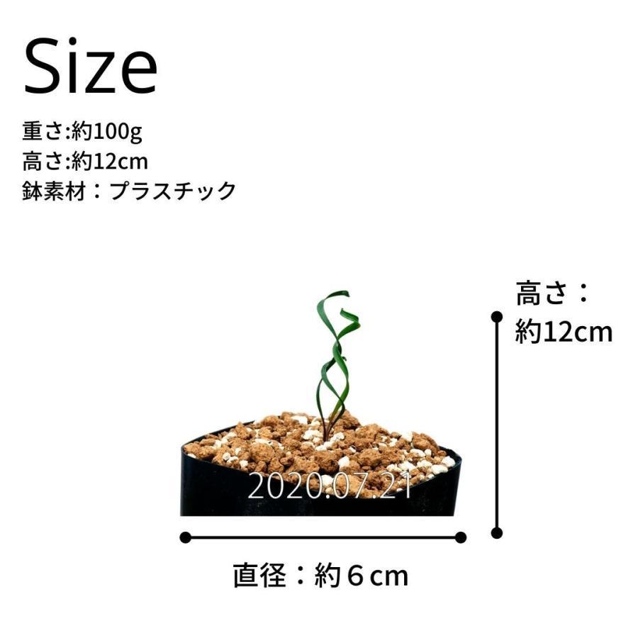 キルタンサス スピラリス Cyrtanthus spiralis EQ704|erioquest|08