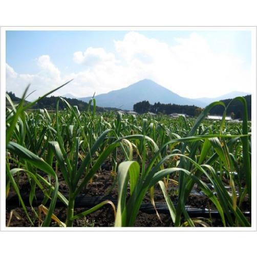 2020年度産 業務用 九州産乾燥にんにくチップ 1kg 国産ニンニク|f-oishii|02