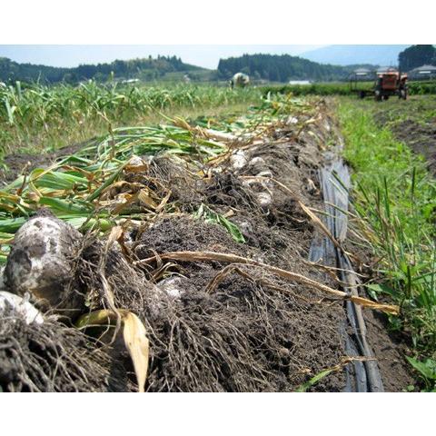 2020年度産 業務用 九州産乾燥にんにくチップ 1kg 国産ニンニク|f-oishii|06