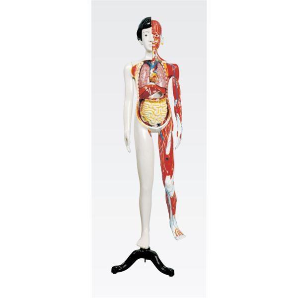 人体解剖模型 〔女/137cm・31分解〕 J-106-1〔代引不可〕