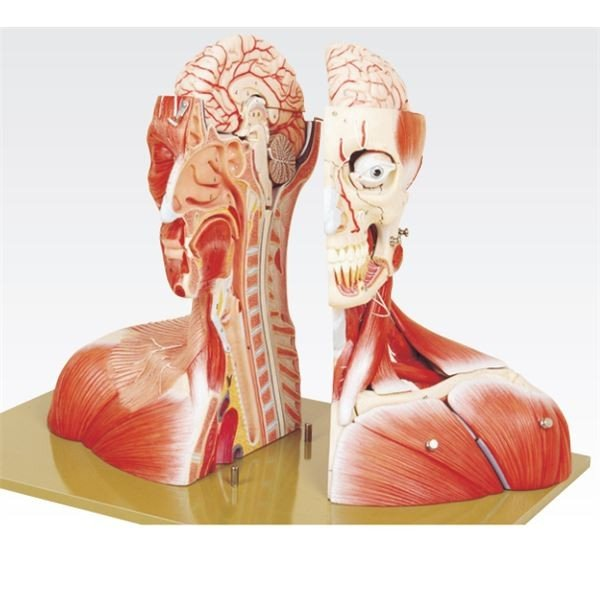頭部半截モデル/人体解剖模型 〔19分解〕 頭蓋冠取りはずし可 脳:8個分解可 J-116-0〔代引不可〕